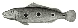 Cichla orinocensis.png