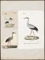 Ciconia maguari - 1700-1880 - Print - Iconographia Zoologica - Special Collections University of Amsterdam - UBA01 IZ17600029.tif