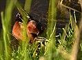 Cinnamon teal on Seedskadee National Wildlife Refuge (34992915901).jpg