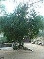 Cirerer de santa Llúcia del parc de l'Oreneta P1510576.jpg