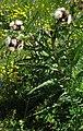 Cirsium x affine RF.jpg