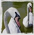 Cisne curioso - panoramio.jpg