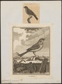Citrinella miliaria - 1700-1880 - Print - Iconographia Zoologica - Special Collections University of Amsterdam - UBA01 IZ16100253.tif