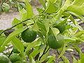 Citrus sinensis0.jpg