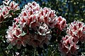 City of London Cemetery pale pink rhododendron 5.jpg