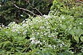 Clematis terniflora and Euonymus hamiltonianus.jpg