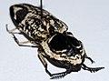 Click Beetle (Lycoreus bishoffi) (8565816724).jpg