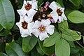 Climbing Oleander(Strophanthus gratus) 4236.jpg