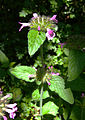 Clinopodium vulgare plant2.jpg