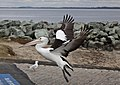 Clontarf Pelican with fishing hook take-off-1 (4878629260).jpg