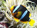 Clownfisch.jpg