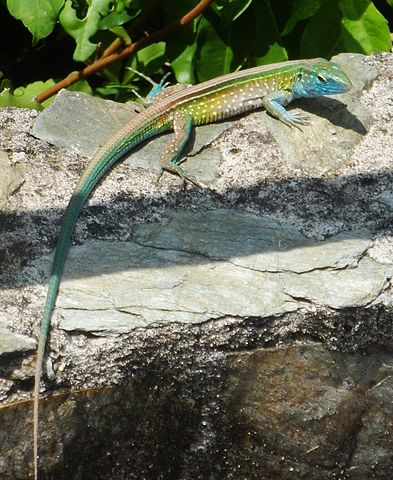 Colorful Pet Lizards Pet Lizards: La...