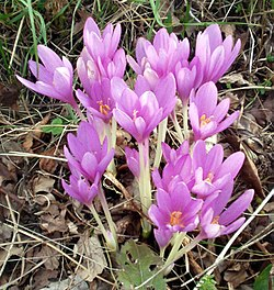 http://upload.wikimedia.org/wikipedia/commons/thumb/9/97/Colchicum_autumnale.jpg/250px-Colchicum_autumnale.jpg