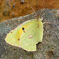 Colias crocea - Flickr - gailhampshire.jpg