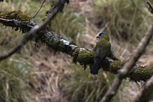 Collared Grosbeak Female Pangolakha Wildlife Sanctuary East Sikkim India 05.05.2016.jpg