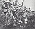 Collectie Nationaal Museum van Wereldculturen TM-60041993 Plukken van bananen, Jamaica Jamaica fotograaf niet bekend.jpg