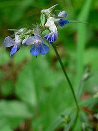 Collinsia parviflora 07503