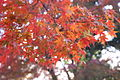 Colored leaves at Hikone castle 彦根城の紅葉 (2114707695).jpg