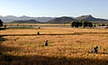 Combing Wheat (4269990646).jpg