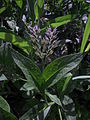Comfrey (Symphytum officinale) leaves and young flowers.JPG