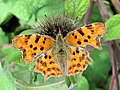 Comma Butterfly on Burdock, near Wilstone Reservoir - geograph.org.uk - 1440356.jpg