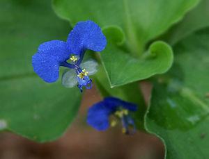 Commelinaceae - Image: Commelina benghalensis W IMG 1549
