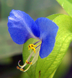 meaning of commelina