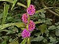 Commelinaceae (Amischotolype sp.) flowers (15314843959).jpg