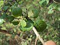 Commiphora wightii 02.JPG