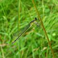 Common Bluetail. Ischnura elegans - Flickr - gailhampshire (1).jpg