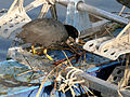 Common Coot (Fulica atra)- making nest on an abondoned boat W IMG 8307.jpg