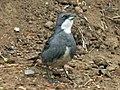 Common Diuca-Finch RWD3.jpg