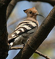 Common Hoopoe (Upupa epops) on a tree in Kolkata W IMG 4505.jpg