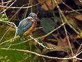 Common Kingfisher DSCN9000 v1.JPG