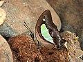 Common Nawab Polyura athamas by Dr. Raju Kasambe DSCN5879 (9).jpg