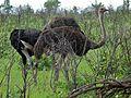 Common Ostriches (Struthio camelus) (6041984730).jpg