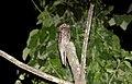 Common Potoo (Nyctibius griseus) (9499701976).jpg