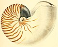 Conchologia iconica, or, Illustrations of the shells of molluscous animals (1860) (20678161375).jpg