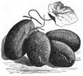 Concombre brodé de Russie Vilmorin-Andrieux 1883.png