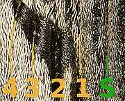 Coniocleonus nigrosuturatus Elytron 2.jpg