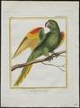Conurus leucophthalmus - 1700-1880 - Print - Iconographia Zoologica - Special Collections University of Amsterdam - UBA01 IZ18500139.tif