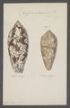 Conus aulicus - - Print - Iconographia Zoologica - Special Collections University of Amsterdam - UBAINV0274 085 10 0091.tif