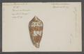 Conus textile - - Print - Iconographia Zoologica - Special Collections University of Amsterdam - UBAINV0274 085 10 0114.tif