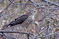 Cooper's Hawk (14726915112).jpg