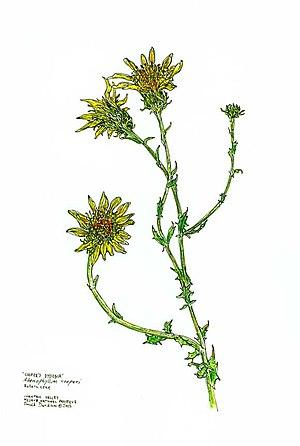 Adenophyllum - Adenophyllum cooperi Work of the US National Park Service