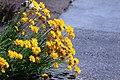 Coreopsis grandiflora IMG 3236.jpg