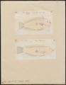 Coris aygula - 1700-1880 - Print - Iconographia Zoologica - Special Collections University of Amsterdam - UBA01 IZ13900157.tif