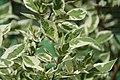 Cornus alba Argenteomarginata 1zz.jpg