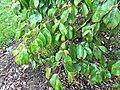 Cornus hongkongensis 04.jpg