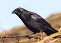 Corvus brachyrhynchos -Seattle, Washington, USA-8.jpg